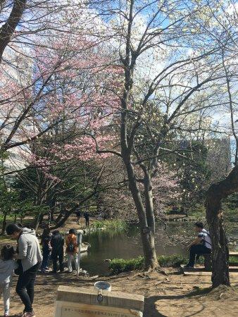 Former Hokkaido Government Office Building: 咲き始めた桜