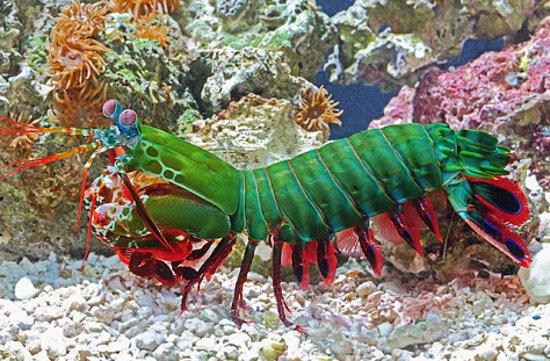 Деза-Секотонг-Барат, Индонезия: Harlequin Mantis Shrimp