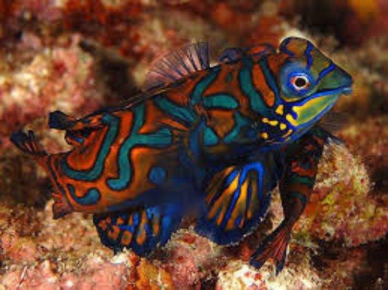 Desa Sekotong Barat, Indonesia: Mandarin Fish