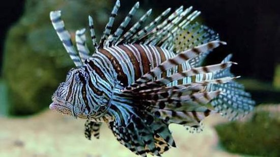 Pearl Beach Resort: Lionfish