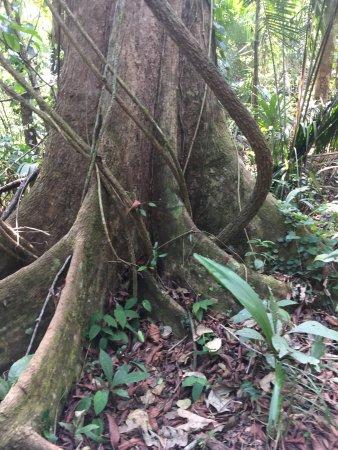 เบลโมแพน, เบลีซ: Mahogany tree