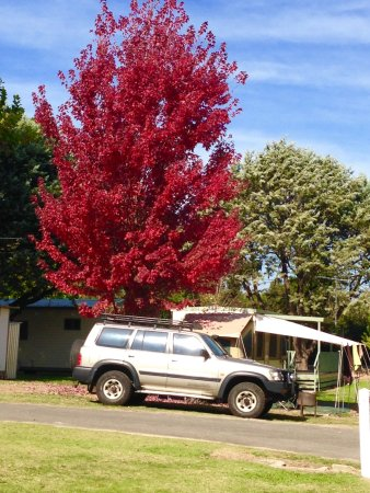 Beechworth, Australia: Powered site with autumn tree
