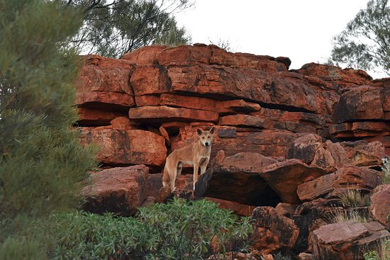 Kings Canyon, Australia: Dingo right across the parking lot of the hotel