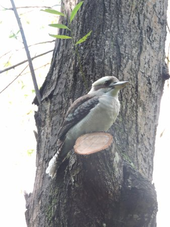 Tamborine Mountain, Australia: Friendly kookabara