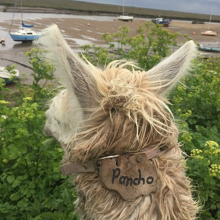 Wells-next-the-Sea, UK: Pancho - the leader!