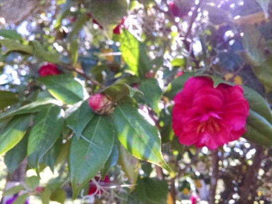 Charles Pinckney National Historic Site : Camellia