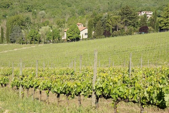 Gaiole in Chianti, อิตาลี: vineyard