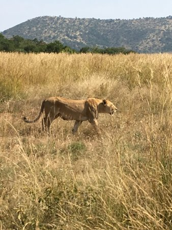 Pilanesberg Safaris and Tours: lioness on the hunt