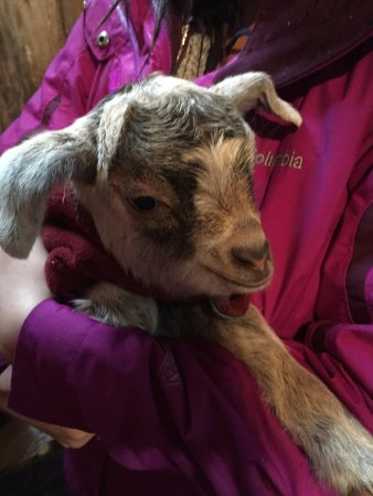 Ellendale, Australien: We had the opportunity to carry the baby goats!