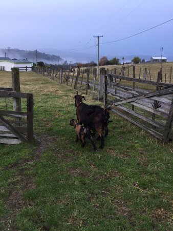 Ellendale, Australia: Goats heading out to play!