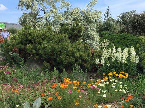 Chelmsford, UK: Beautiful emerging Californian poppies