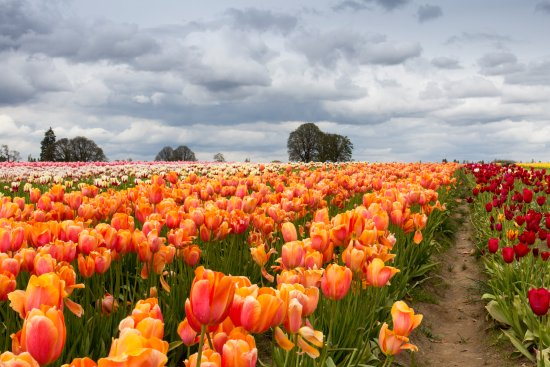 Woodburn, Орегон: Between the vibrant tulips and the encroaching rain clouds the colors were outstanding.