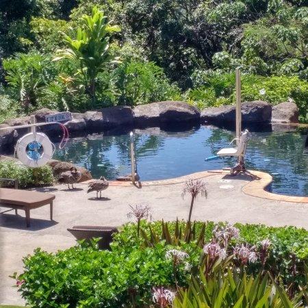 Westin Princeville Ocean Resort Villas: Quiet pool with resident nenes