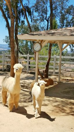 The Alpaca Hacienda Mom Cria In Nursery