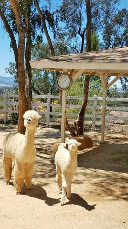 The Alpaca Hacienda Mom Cria In Nursery