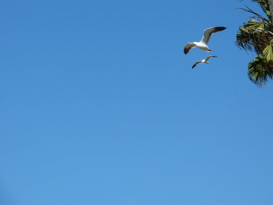 Mission Bay Park: Sea Gulls flying in formation