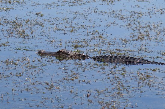 Spanish Fort, AL: A 6' alligator about ten feet from the boat.