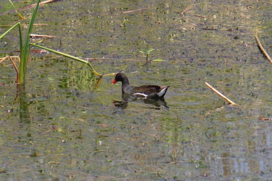Spanish Fort, AL: A moorhen.