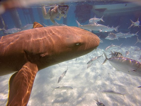 Out Islands: Up close and personal with nurse sharks!