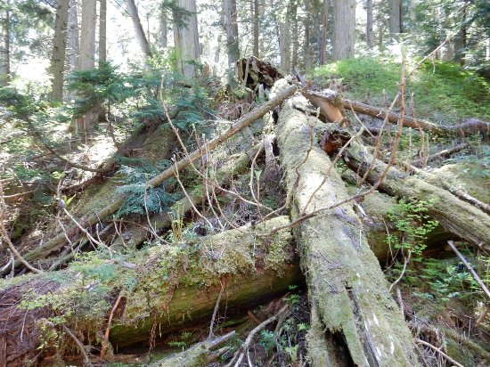 Giant Cedars Boardwalk Trail: Dead trees are also usefull