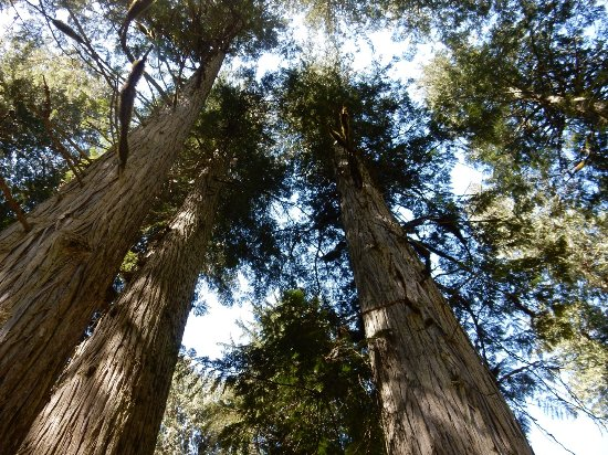 Giant Cedars Boardwalk Trail: See the hight of these trees