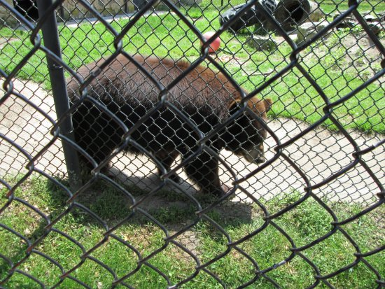 Cape May Court House, NJ: American black bear