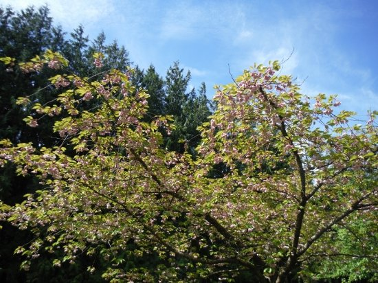 Comox, Canadá: TREES IN BLOOM