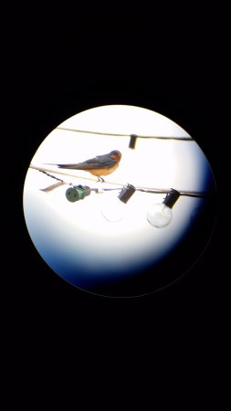 Sonoita, Αριζόνα: This is a barn swallow that visited and perched on the patio/courtyard lighting cable.