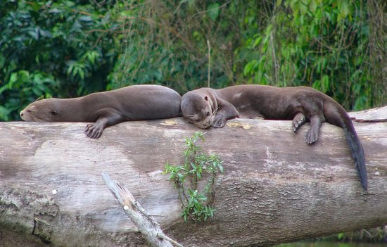 Tambopata River : Giant otter, lives in the lakes of the Peruvian jungle and are found in the national reserve of
