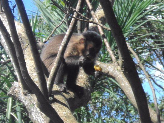 comendo banana!