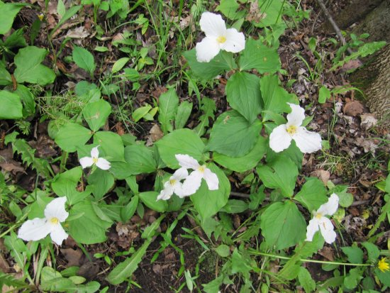 Georgina, Canada: Some spring time Trilliums