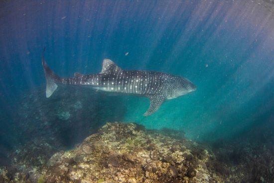 Ningaloo Blue Dive: The whale shark