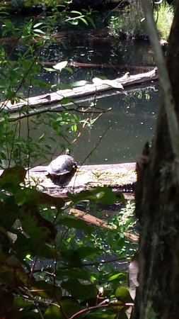 Nanaimo, Canada: There were turtles sunbathing along the water, just sitting serenely on logs.