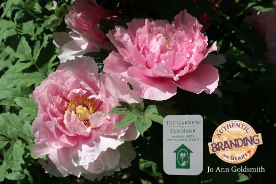 Wellesley, MA: My Favorite Flowering Tree, which I thought was Peonies, turned out to be a Paeonia Pink Tree.