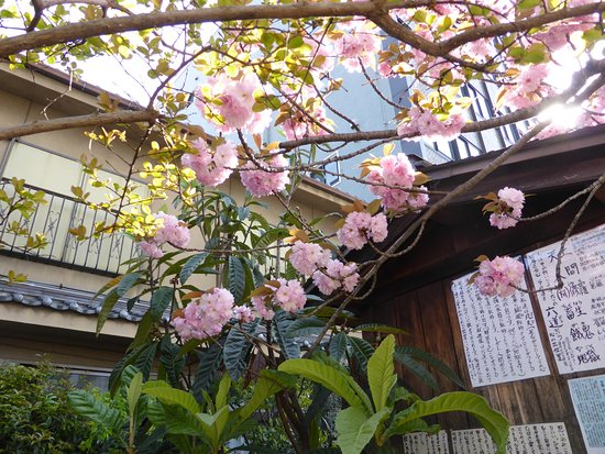 Matsubaya Inn: Cheery Blossom was just about over but there was still some around to look at