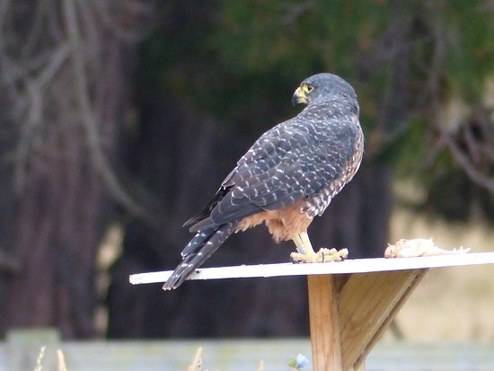 Ugbrooke Country Estate: Awatere Falcon