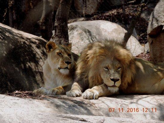 Harare, Zimbabwe : Lion couple at Lion nad cheetah park