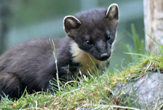 "Invermoriston, UK: ""Peanut"" the Pine Marten"