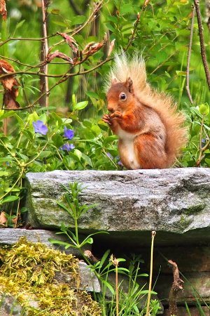 "Invermoriston, UK: ""Red"" the endangered Red Squirrel"