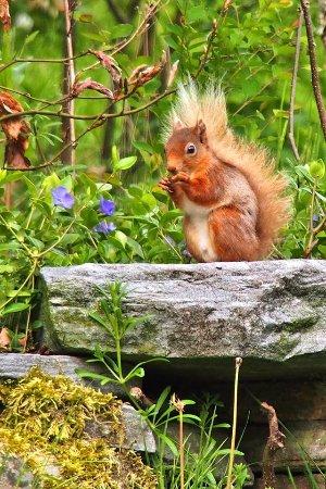 "Craik Na Dav B & B: ""Red"" the endangered Red Squirrel"