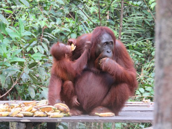 Rimba Orangutan Eco Lodge: The magnificent orangutan whose environment is threatened by commercial enterprise