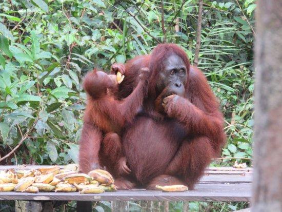 Rimba Orangutan Eco Lodge: The magnificent orangutan whose environment is threatened by commercial enterprise