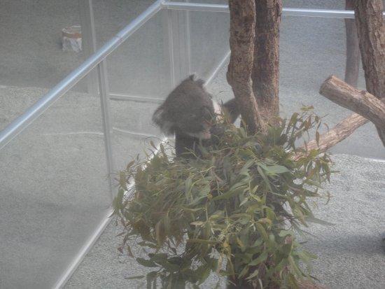 Awaji Farm Park England Hill: ユーカリを食べることに夢中のコアラ