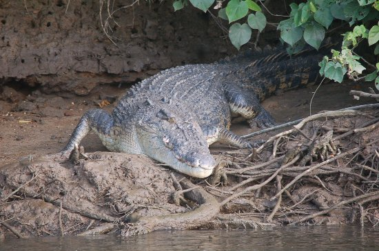 Saltwater Croc from Bruce Belcher's Daintree River Cruise