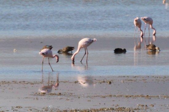 Table View, África do Sul: Lesser Flamingo - 97 & Cape Shoveler - 112