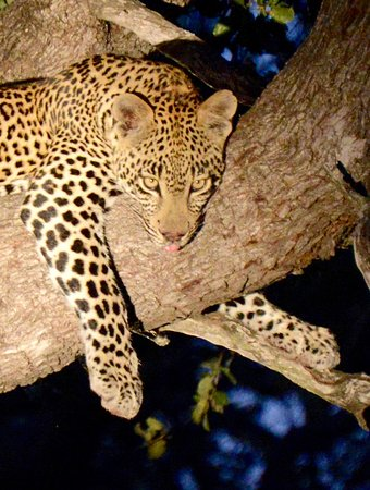 Sabie, South Africa: Leopard resting in a tree in Sabi Sand Park Simbambilli area