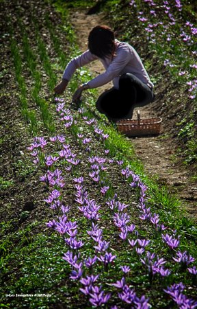 Cueillette Des Fleurs De Crocus Sativus Picture Of Safran De