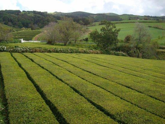 Plantações de Chá Gorreana (Gorreana Tea Plantation): Plantações de chá