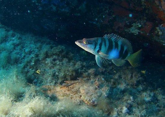 DIVING CALVI A Piaghja : Rascasse et petit poisson qui passe par là