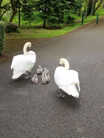 Dundalk, Ireland: Swan babies